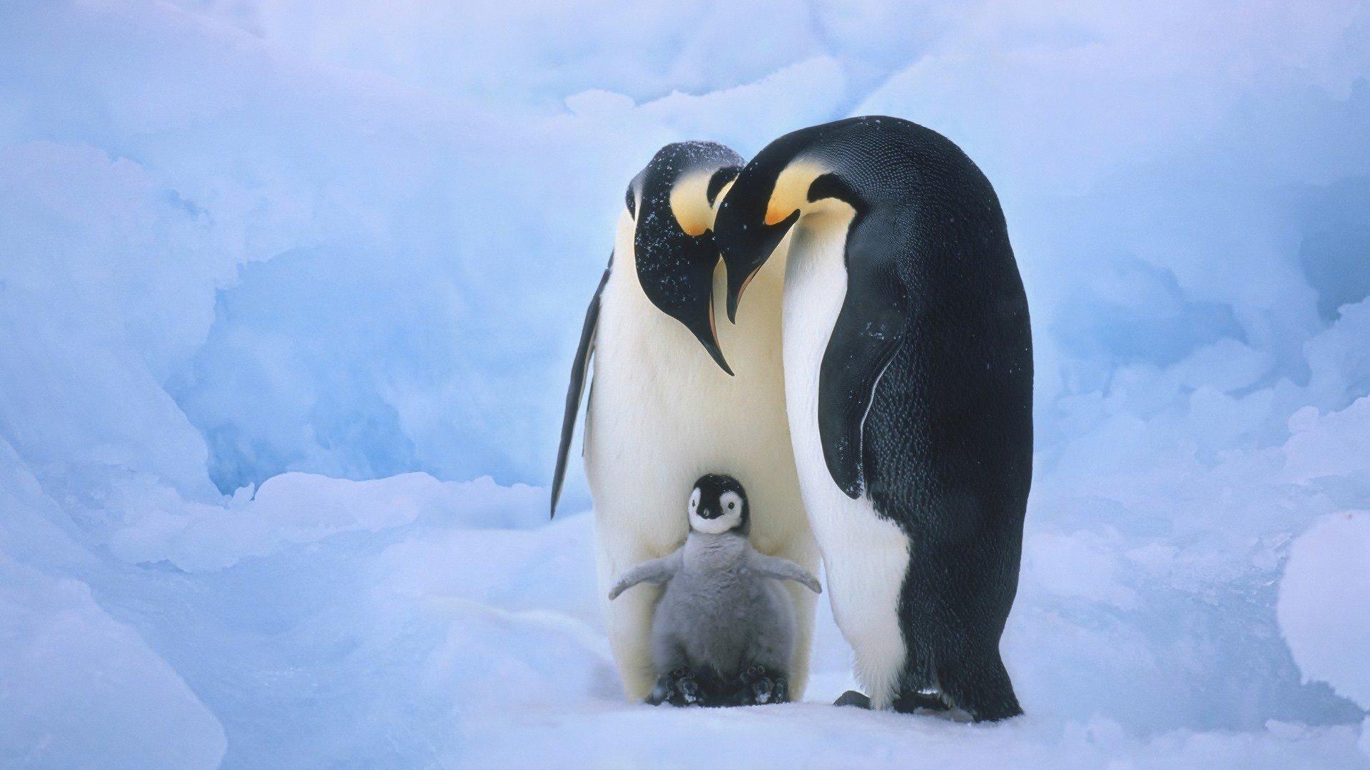 Um casal gay de pinguins