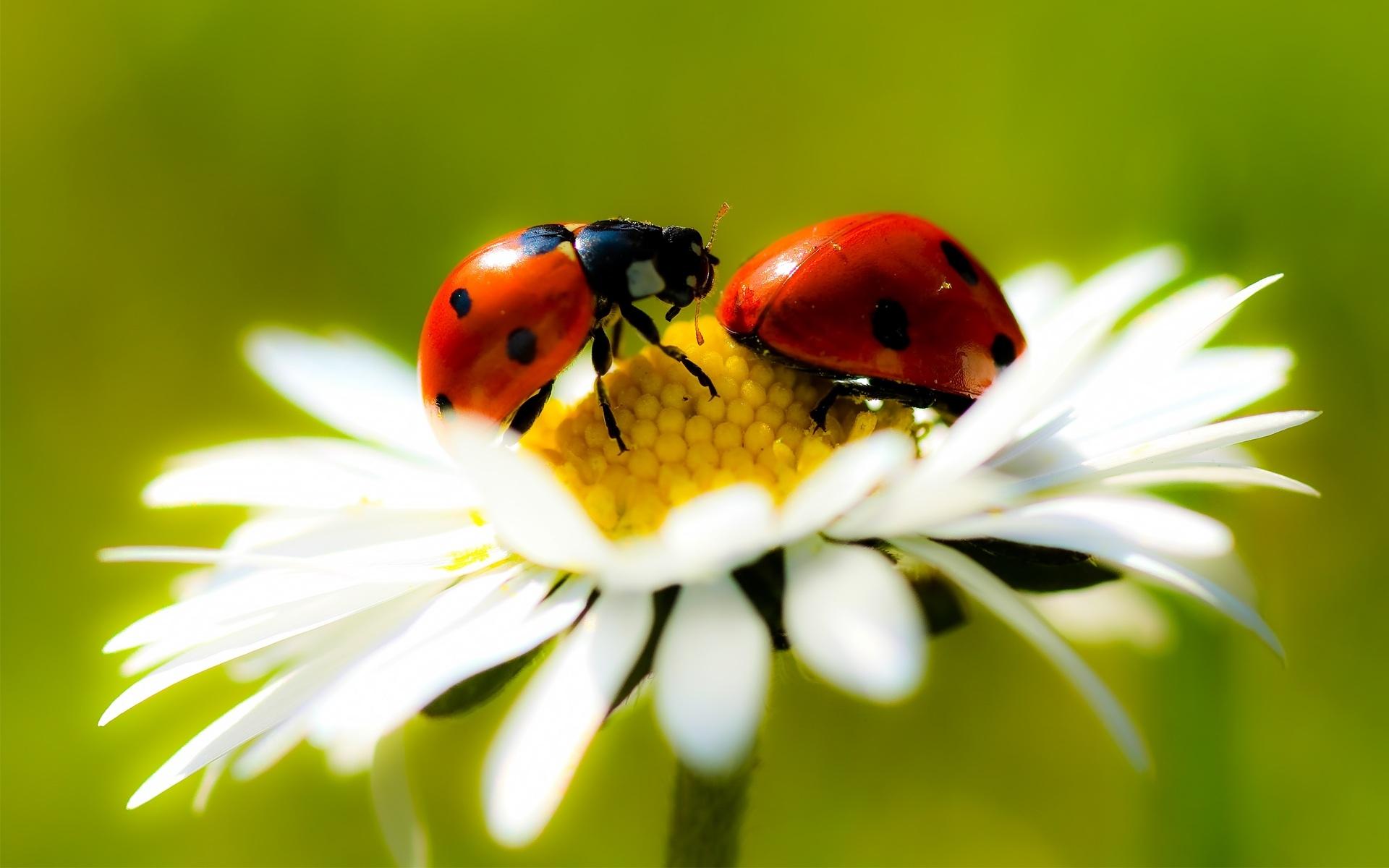 Joaninhas são insetos carnívoros que comem até mesmo larvas de lagartos