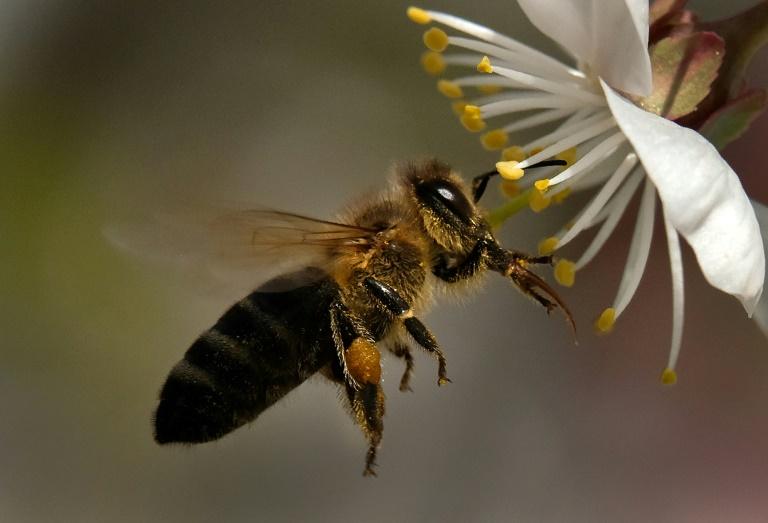 Inseticidas neonicotinoides são considerados nocivos para as abelhas.