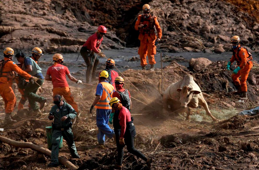 Bombeiros tentam resgatar vaca atolada na lama de rejeitos em Brumadinho. Muitos animais tiveram foram sacrificados pelas autoridades que, sob críticas, disse que ato foi por