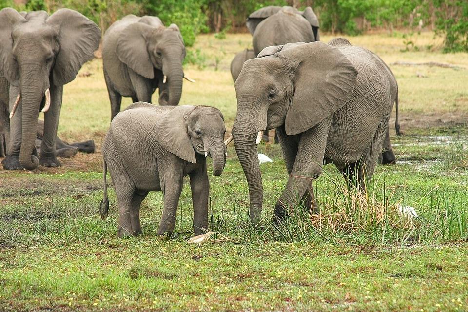 Ele diz ali que o elefante nunca morre só e sempre morre de pé