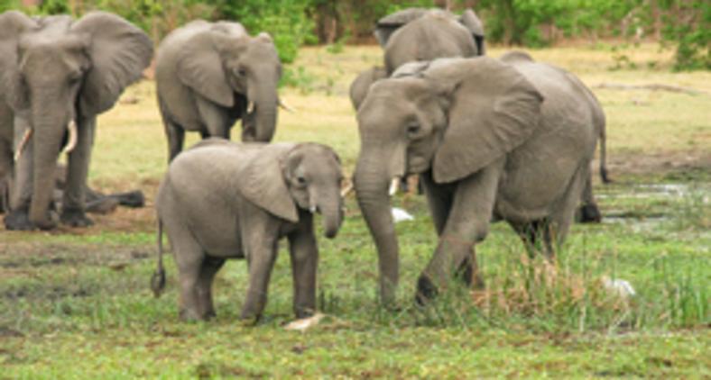 Ele diz ali que o elefante nunca morre só e sempre morre de pé (Pixabay)
