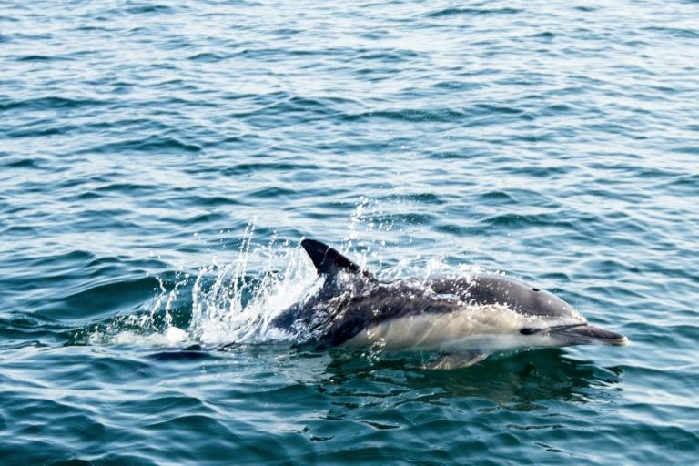 (2018) Golfinho na costa de La Turballe, oeste da França