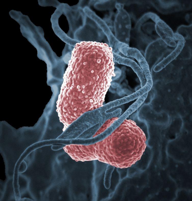 No Brasil, o estudo apontou que as cepas da bactéria continham vários genes de resistência aos antibióticos.