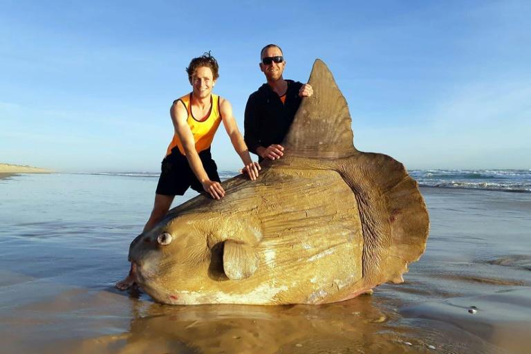 O peixe-lua encontrado morto em uma praia de Coorong, no sul da Austrália, em foto de 16 de março de 2019