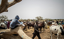 (Junho) Pastores fulani no mercado de gado de N'gonga, Niger (AFP)
