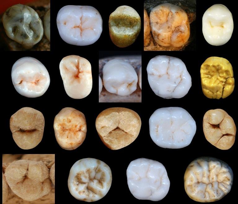 Amostras de dentes de hominídeos encontrados no sítio da caverna de Sima de los Huesos, na Espanha.