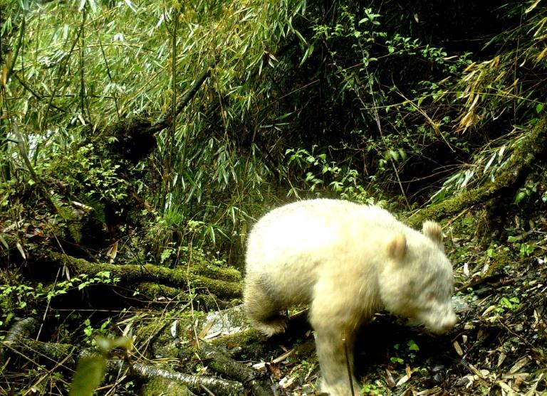 O panda albino foi fotografado na província de Sichuan em 20 de abril de 2019, pela Reserva Natural Nacional de Wolong, que divulgou a imagem neste domingo
