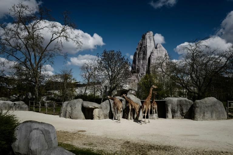 Girafas em seu recinto no zoológico de Vincennes, em Paris, em abril de 2019.