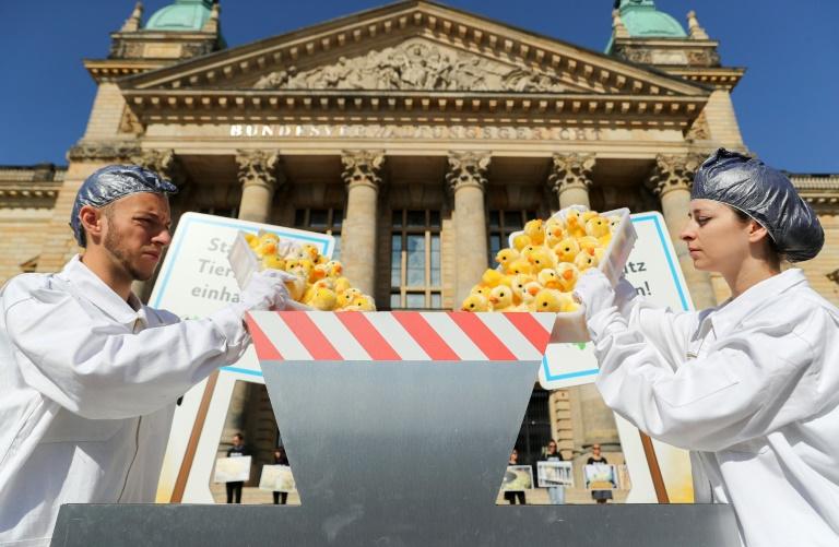 Militantes da ONG de proteção dos animais Peta colocam pintinhos de pelúcia em uma trituradora falsa para protestar contra a destruição industrial dos pintinhos machos nos criadouros, diante do tribunal de Leipzig, em 13 de junho de 2019