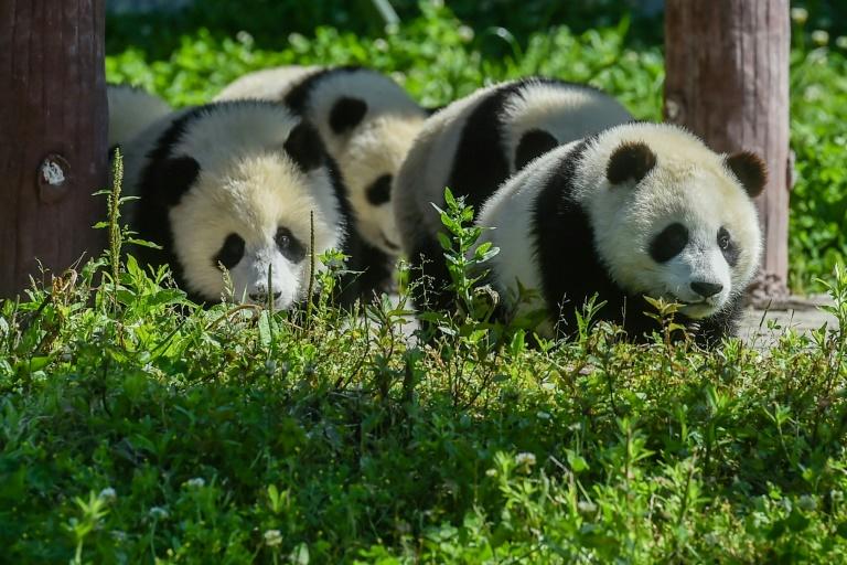 Filhotes de urso panda brincando na base Shenshuping da Reserva Natural de Wolong em Wenchuan.