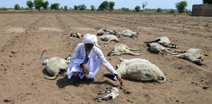 Rebanho dizimado pela onda de calor na Índia.