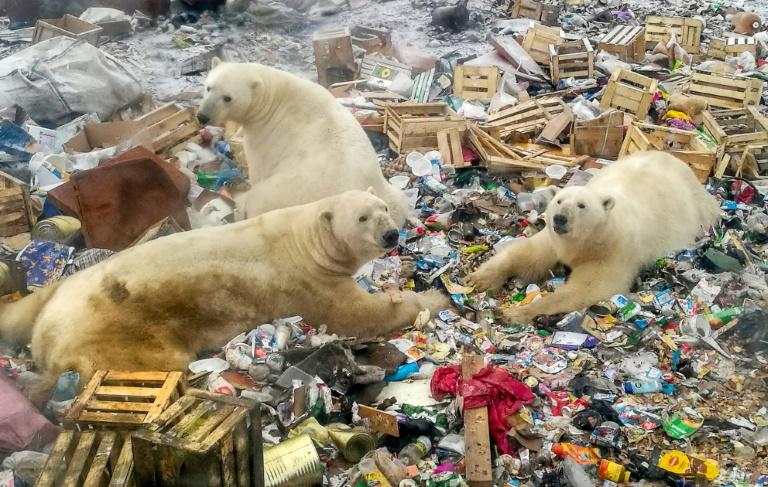 Ursos polares estão cada vez mais deixando seu hábitat, em função dos efeitos da mudança climática e do desenvolvimento regional no norte da Rússia