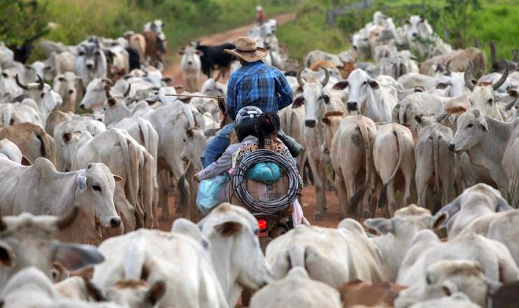 Nas estradas que cortam a fazenda Lagoa do Triunfo é comum cruzar com manadas de boi