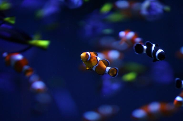 Peixe palhaço ficou mais conhecido após filme 'Procurando Nemo'.
