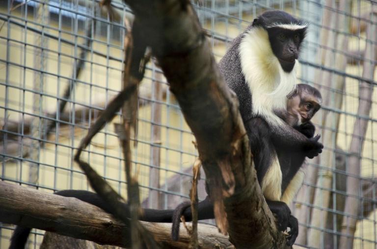Uma fêmea e seu filhote da família dos 'cercopitecos', em risco de extinção.
