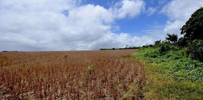 Plantio de soja nos limites da aldeia indígena Açaizal, no Pará.