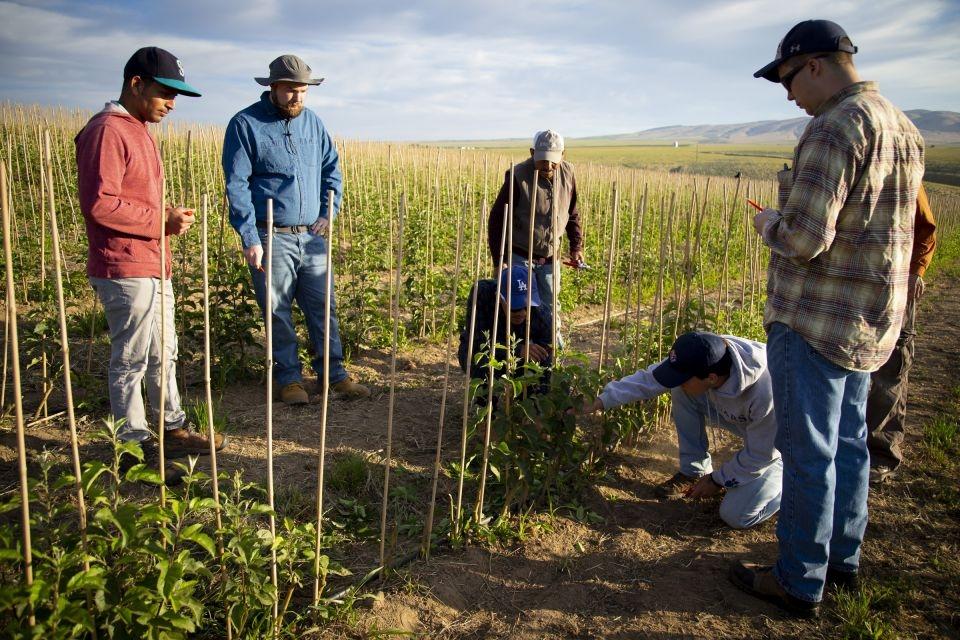 Seminaristas aprendem a podar mudas de macieiras em um pomar em Prosser, Washington, de um trabalhador migrante em 29 de maio.