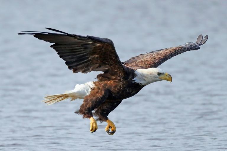 Uma águia-de-cabeça-branca voa sobre Mill Pond em Centerport, Nova York, em 29 de julho de 2018.