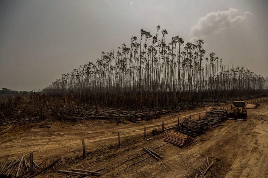 Imagem registrada no domingo (25) mostra uma plantação de eucaliptos atingida pelos incêndios em Humaitá, no interior do estado do Amazonas.