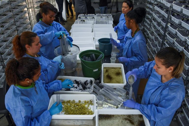 Biólogos manejam larvas de mosquito na Fundação Oswaldo Cruz, Rio de Janeiro.