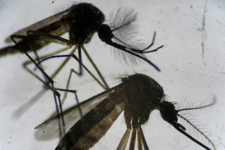 Mosquitos Aedes aegypti em microscópio no laboratório da Fundação Oswaldo Cruz, no Rio de Janeiro.