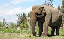 Ramba tem 53 anos, pesa quase 4 toneladas e é conhecida como a última elefanta de circo do Chile. (Santuário de Elefantes)