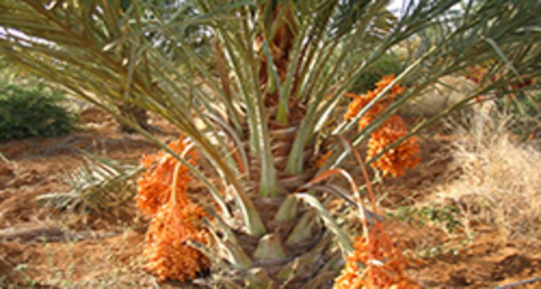Um ditado atribuído ao povo árabe afirma que quem planta tâmaras não colhe tâmaras. (Gustavo Romero Acosta/ Wikimedia)