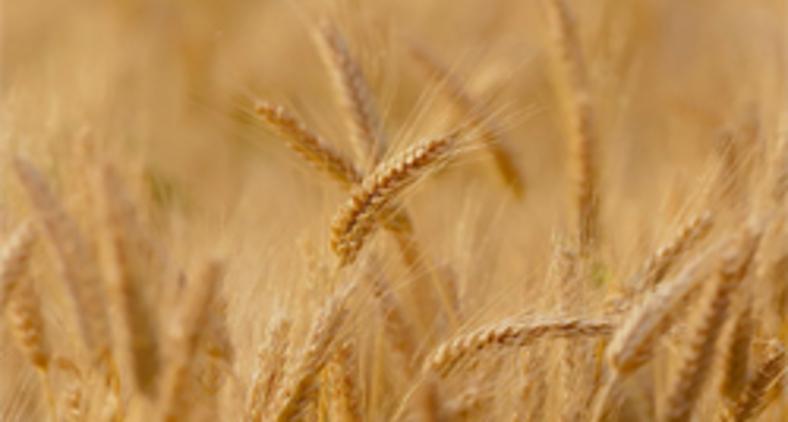 A sabedoria bíblica ensina que a ação mais eficaz é aquela que dá tempo ao tempo para que o joio e o trigo cresçam e possam ser identificados sem possibilidade de erro. (Pixabay)