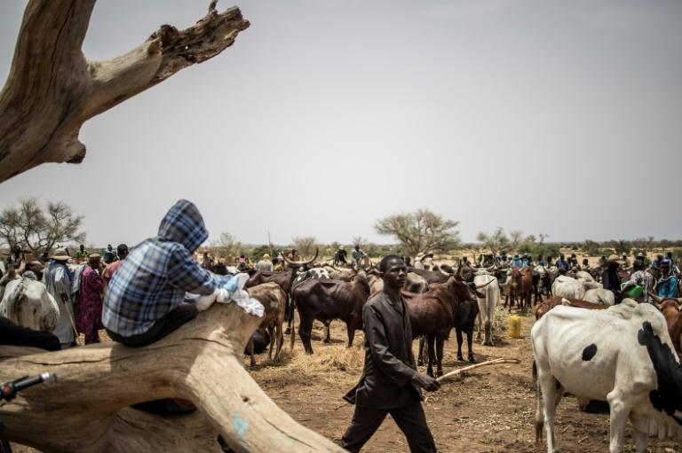 (Junho) Pastores fulani no mercado de gado de N'gonga, Niger