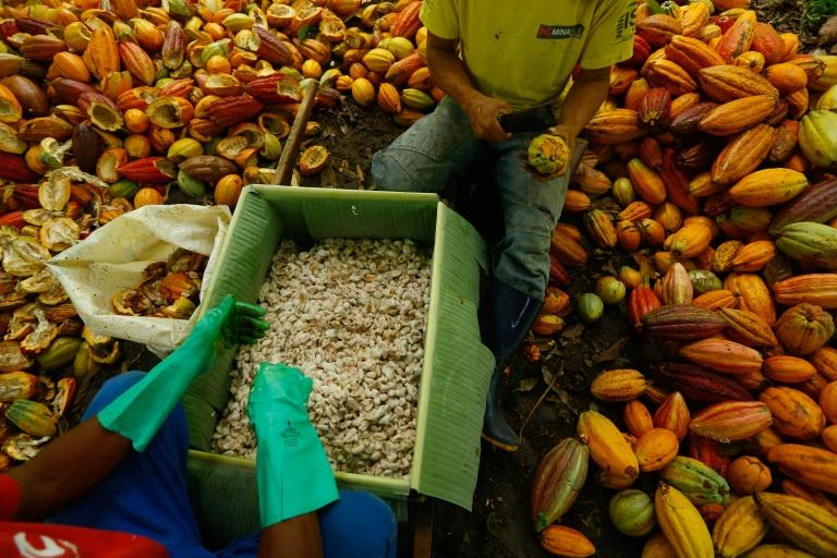 Os trabalhadores agrícolas brasileiros José Carlos, 37, e Daniel Ferreira, 34, cortam frutos de cacau na fazenda Altamira, em Itajuipe, Bahia, Brasil