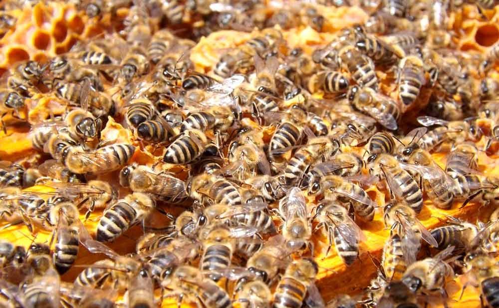 A população de abelhas tem sido drasticamente reduzida no mundo todo