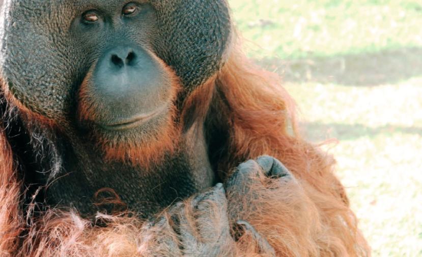 O orangotango Sansão no Zoológico de São Paulo
