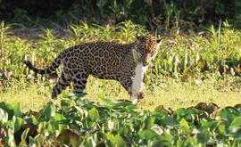 Onças defendem sua comida às vezes agressivamente e devem ser observadas sempre à distância (Rafael Hoogesteijn/Panthera Brasil.)