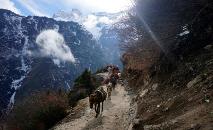Mulas em uma trilha do Everest, do lado nepalês, em 24 de março de 2020 (AFP)