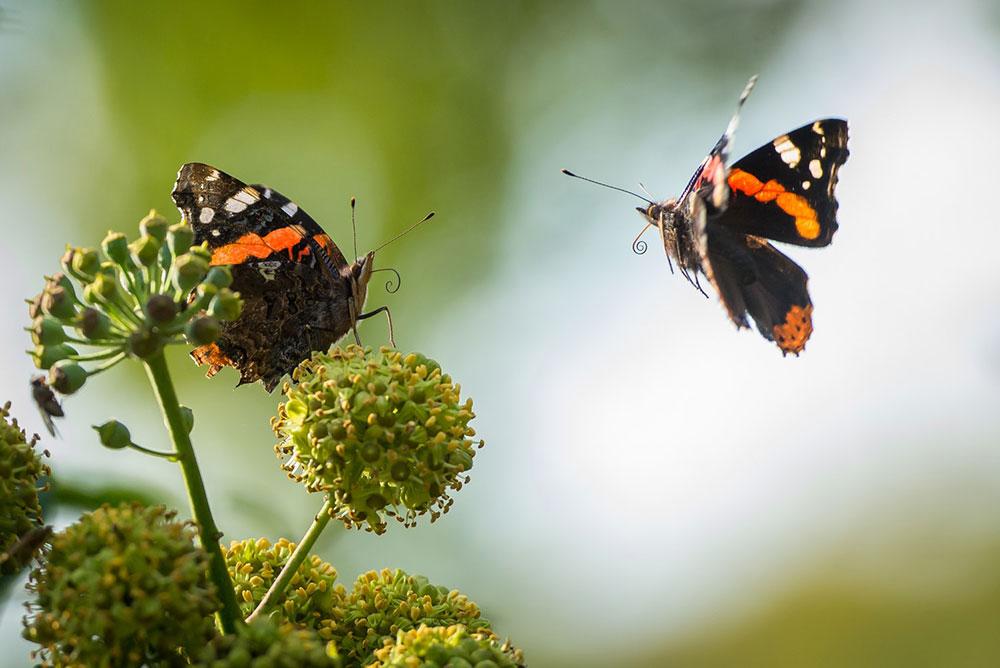 Borboletas são um dos grupos importantes de insetos dentro do processo de avaliação