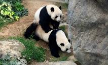 Foto fornecida pelo Ocean Park de Hong Kong em 7 de abril de 2020 mostra os pandas gigantes Ying Ying e Le Le se acasalando (Ocean Park Hong Kong/AFP)
