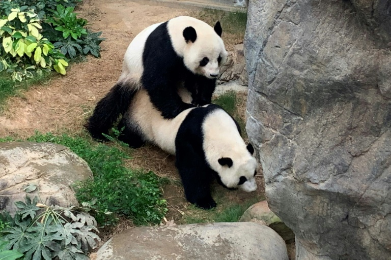 Foto fornecida pelo Ocean Park de Hong Kong em 7 de abril de 2020 mostra os pandas gigantes Ying Ying e Le Le se acasalando