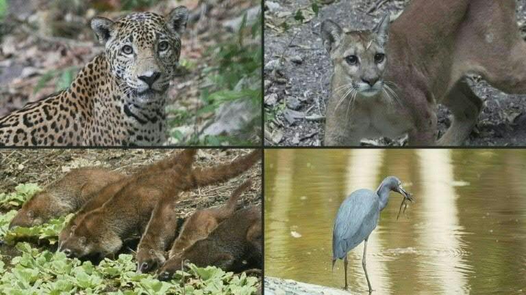 Nas imagens, compartilhadas pelo Conap da Guatemala, os animais andam sem medo e muitos se aproximam de bebedouros para matar a sede. Também são vistas numerosas aves