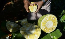 A Índia, maior produtora mundial de jaca, está capitalizando com a crescente popularidade da fruta como uma 'supercomida' alternativa à carne (AFP)