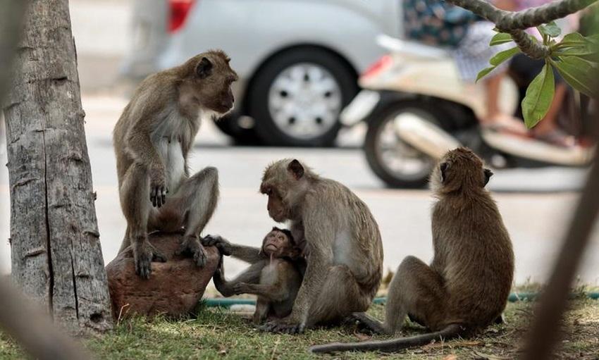Na Índia, na Tailândia e em outros países da região, macacos convivem com seres humanos e animais domésticos nas ruas das cidades