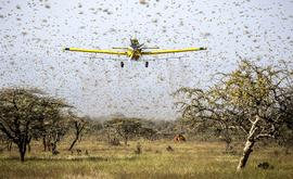 Apesar do estado emergencial, o Ministério da Agricultura disse que avaliava no momento como pouco provável que os gafanhotos avançassem para território brasileiro (Senasa/Divulgação)