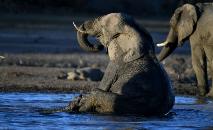 (Arquivo) Um elefante no Delta do Okavango, norte do Botsuana (AFP)