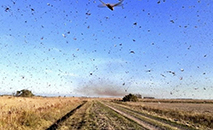 Os gafanhotos estão hoje a pouco mais de 100 quilômetros do Brasil e do Uruguai (Senasa Argentina)