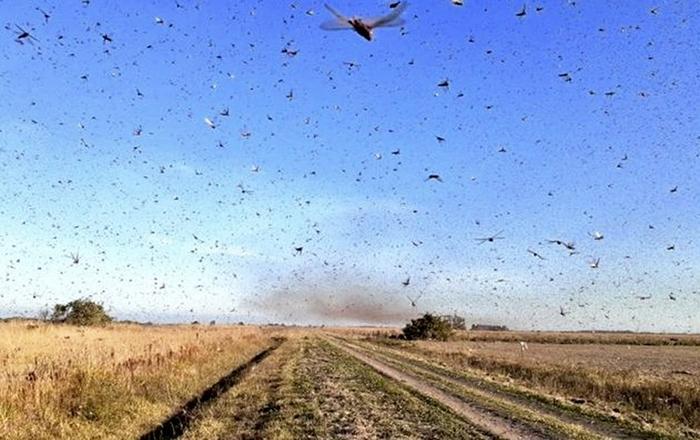 Os gafanhotos estão hoje a pouco mais de 100 quilômetros do Brasil e do Uruguai