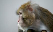 Cientistas do mundo inteiro recorrem a macacos-rhesus em experimentos com o Sars-CoV-2 (AFP/Arquivos)