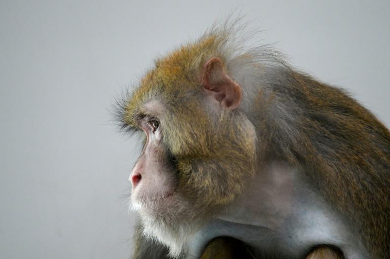 Cientistas do mundo inteiro recorrem a macacos-rhesus em experimentos com o Sars-CoV-2