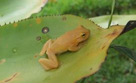 Pererequinha-de-bromélia foi encontrada na Bahia (Divulgação/Fundação Boticário)
