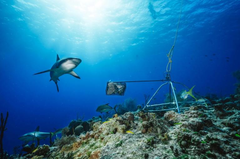 Um tubarão de recife do Caribe junto a um sistema de video aquático nas Bahamas, em uma foto sem data cedida pela Global FinPrint em 22 de julho de 2020