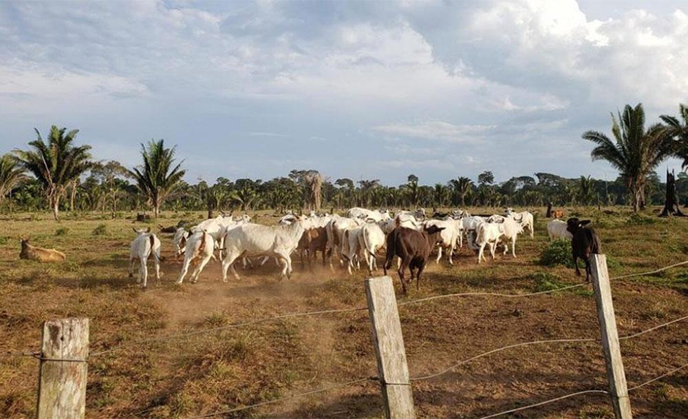 Gado em uma propriedade dentro da Reserva Rio Ouro Preto, em Rondônia, em julho de 2019